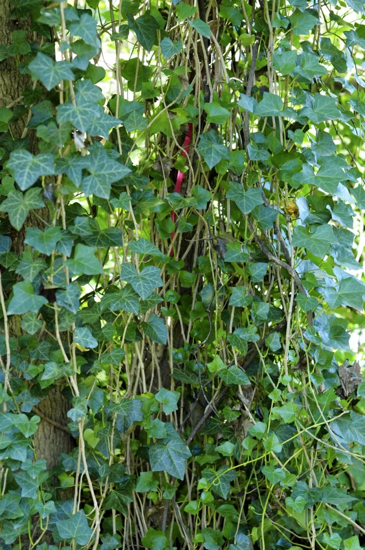 English Ivy on Tree trunks